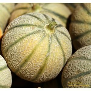 Melon Diego F1, plants potagers, pot de 0.5L, légume fruit, achat, pas cher
