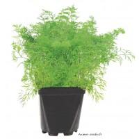 Aneth AB, aromatique, plante condimentaire, pot 1L, achat, pas cher