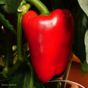Poivron Lamuyo F1, plants potagers, pot de 0.5L, légume du soleil, achat, pas cher