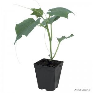 Cornichon Parigyno F1, plants potagers, pot de 0.5L, légume, achat, pas cher