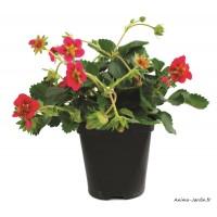 Fraisier remontant Tristan, plants potagers, pot de 0.5L, fraise, achat, pas cher