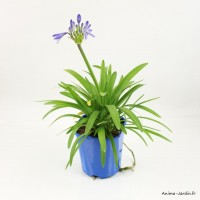 Agapanthe, pot de 2L, vivace, plantation, massif, achat, pas cher