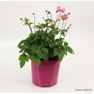 Anémone Japonica, pot de 2L, vivace, plantation, massif, achat, pas cher