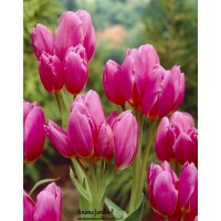 Tulipe happy family,  bulbes calibre 12+, multiflora, achat/vente