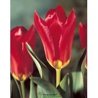 Tulipe Madame Lefeber, bulbes calibre 12+, Fosteriana hâtive, achat/vente