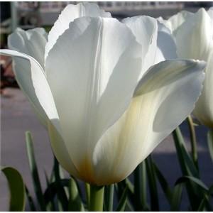 Tulipe blanche 'white emperor' Fosteriana hâtive, achat/vente