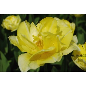 Tulipe double tardive 'Yellow Pomponette' jaune, collection prestige