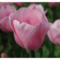 Tulipe triomphe Page Polka, rose, bulbe beau diamètre, achat