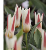 Tulipe kaufmanniana, johan strauss, collection vivace, jaune-rouge, achat