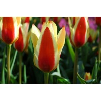 Tulipe kaufmanniana, Stresa, collection vivace, jaune-rouge, achat