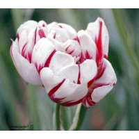 Tulipe double tardive carnaval de Nice, blanc-rouge, tulipe de collection