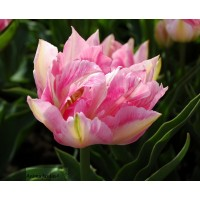 Tulipe double hâtive peach blossum, rose, tulipe de collection, achat