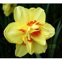 Narcisse jonquille tahiti, jaune coeur rouge, bulbe calibre 12, pas cher, achat