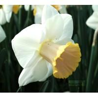 Narcisse Salomé, jaune 2 teintes, bulbe calibre 12, pas cher, achat