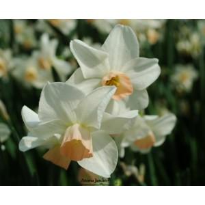 narcisse jonquille bell song blanc et rose bulbe calibre 12 pas cher achat. Black Bedroom Furniture Sets. Home Design Ideas