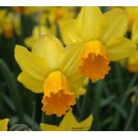 Narcisse Jetfire, jaune et orange, bulbe calibre 12-14, pas cher, achat