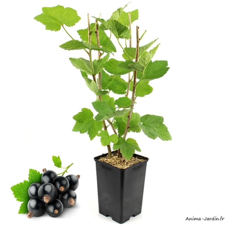 Cassissier Andega-arbuste à petits fruits-pot 1,3 L-achat-pas cher-Anima-Jardin.fr