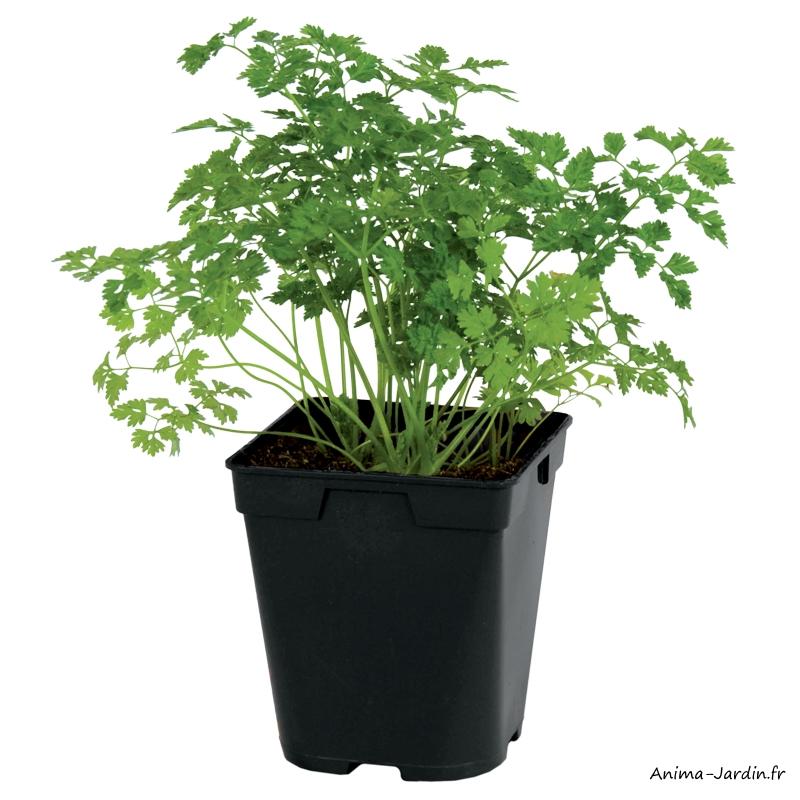 Cerfeuil-Aromatique-plante condimentaire-pot 1L-achat-pas cher-Anima-Jardin.fr