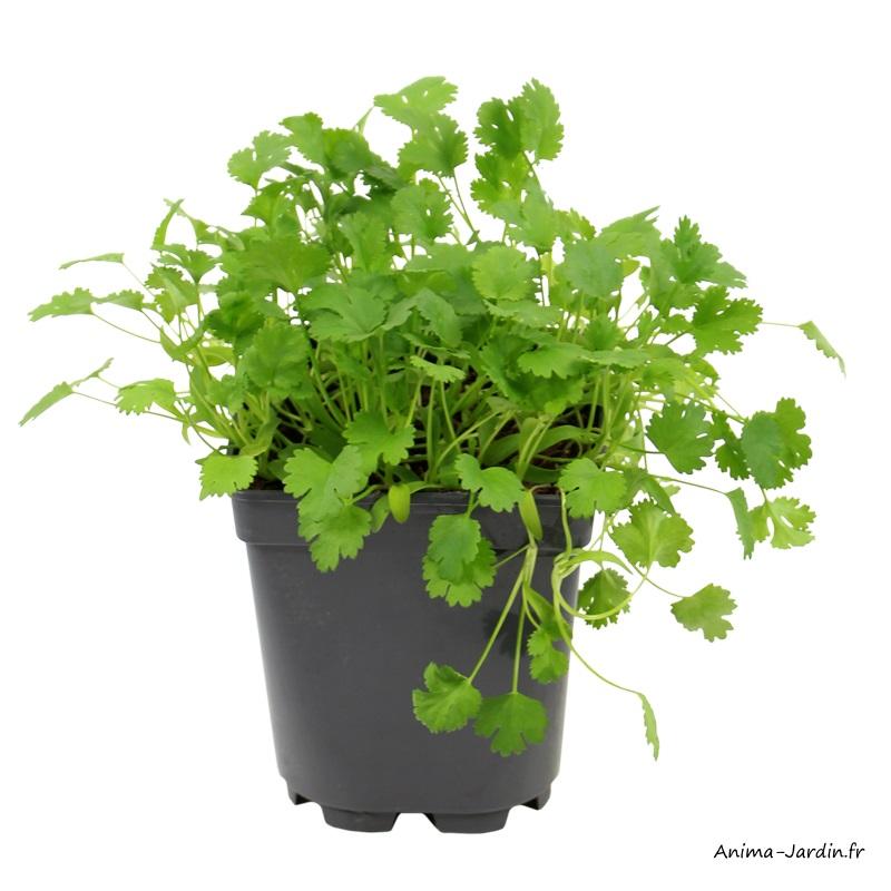 Coriandre AB-aromatique-plante condimentaire-pot 1L-achat-pas cher-Anima-Jardin.fr