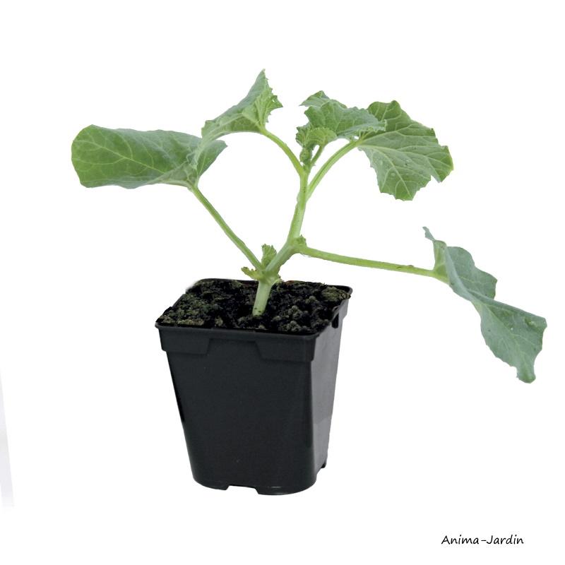 Melon Anasta F1, plants potager, pot de 0.5L, potager, culture, achat, pas cher