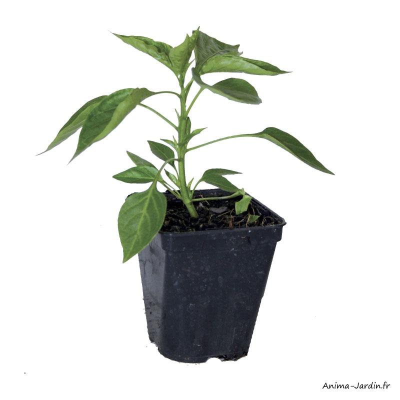 Poivron Lamuyo F1-plant potager-pot de 0,5L-potager-culture-achat-pas cher-Anima-Jardin.fr