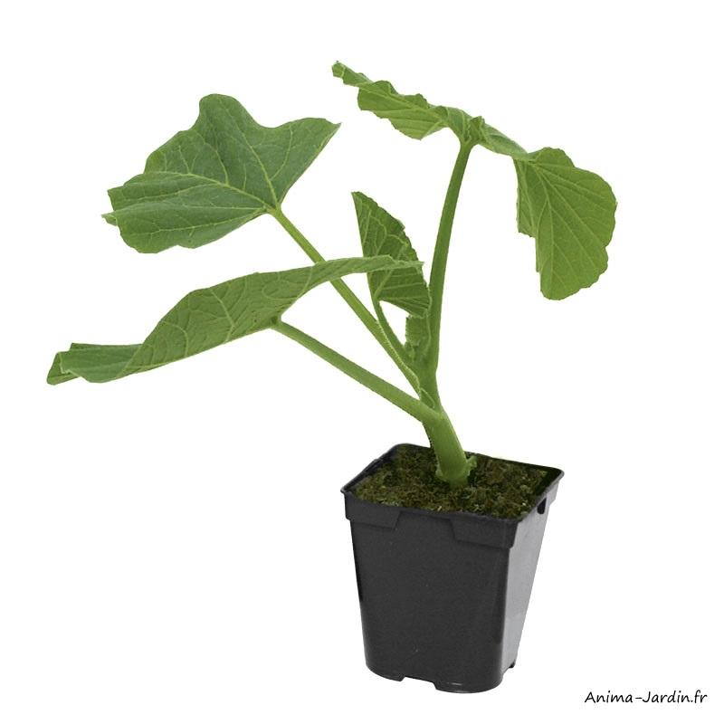Potiron rouge vif d'étampes-plant potager-pot de 0,5L-potager-cuture-achat-pas cher-Anima-Jardin.fr
