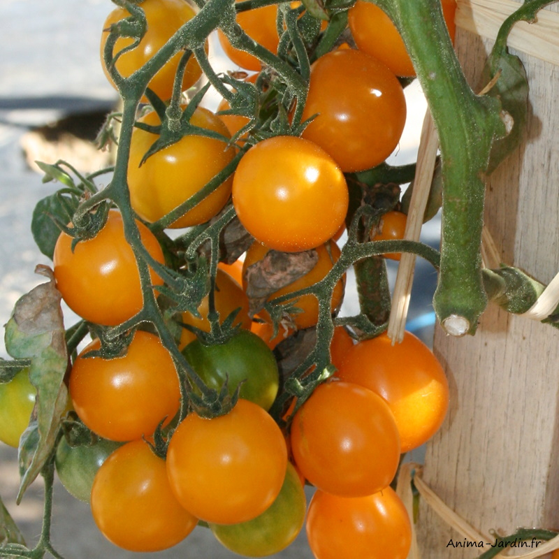 Plan de tomates-Tomate cerise Gold Nugget-pot de 0,5L-potager-culture-achat-pas cher-Anima-Jardin.fr