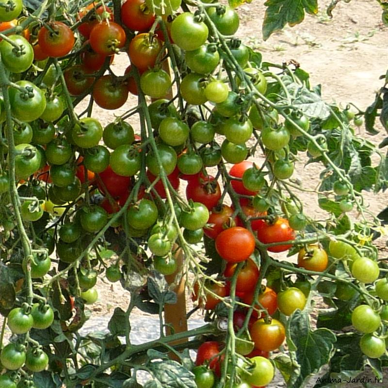 Plan de tomates-tomates cerises Sweet baby-potager-culture-achat-Anima-Jardin.fr