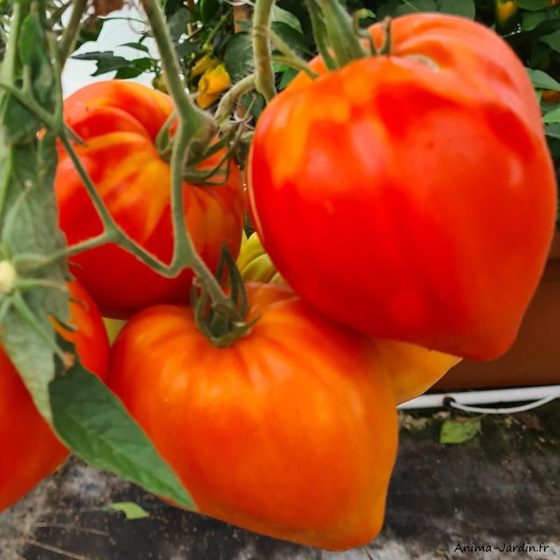 Plant de tomates-tomates Coeur de Boeuf-gros fruits-potager-culture-achat-pas cher-Anima-Jardin.fr
