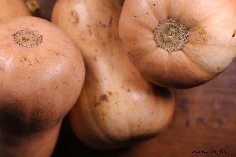 Courge Butternut AB, plants potager, pot de 0.5L, potager, culture, achat, pas cher