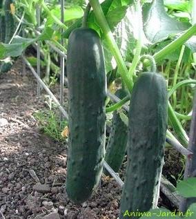 Concombre Markemore