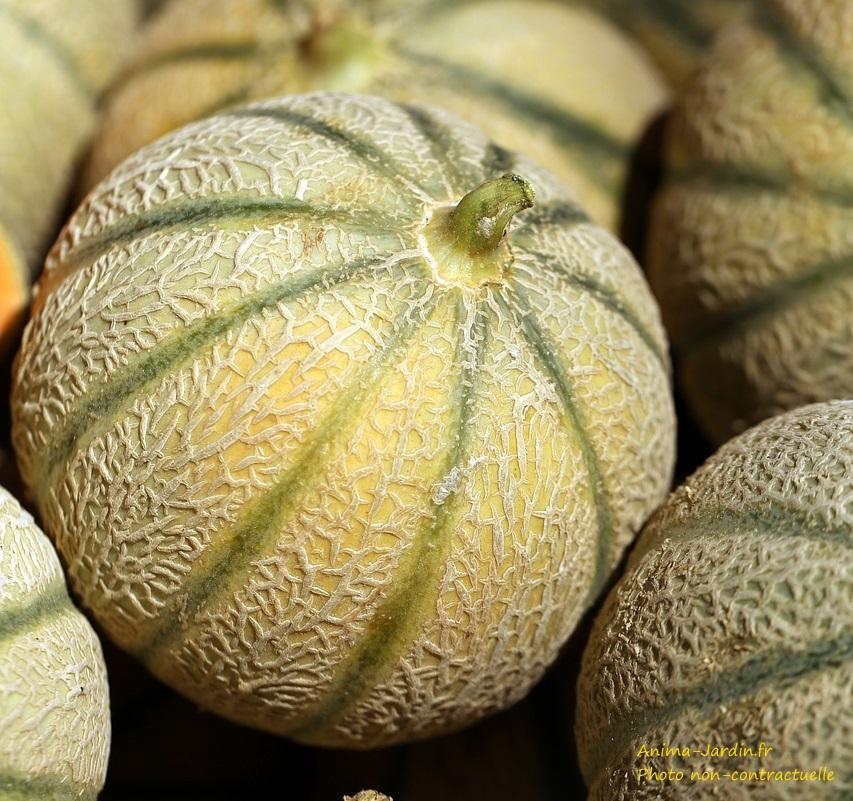 Melon Diego F1-plant potager-pot de 0,5 L-potager-culture-achat-Anima-Jardin.fr